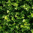 Texture 314: Green Wall Foliage 4500 x 4500 px proof